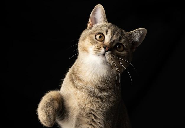 Portret szarego kotka szkockiego szynszyli prostej na czarnej ścianie, kot patrzy w kamerę