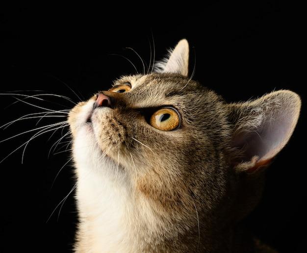 Portret szarego kotka szkockiej szynszyli prostej na czarnej ścianie, kot patrzy w górę