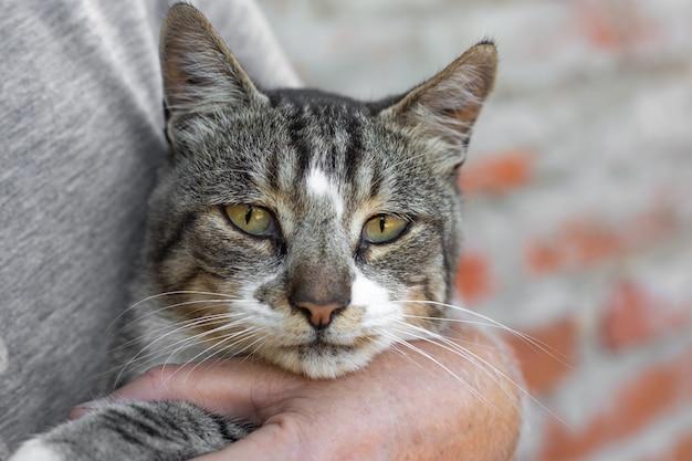 Portret szarego pręgowanego dorosłego kota na rękach mężczyzny