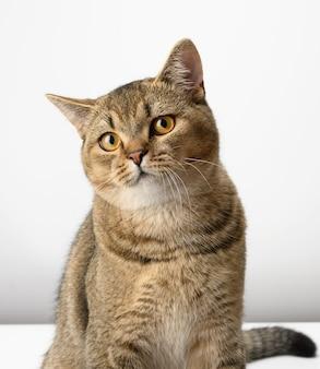 Portret szarego prostego kota szkockiego, ładny kaganiec
