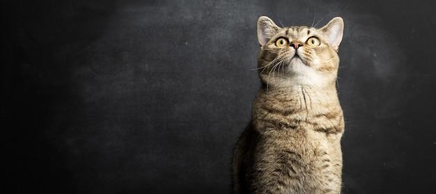 Portret szarego szkockiego kota prostego na czarnej powierzchni, śmieszna buzia, kopia przestrzeń