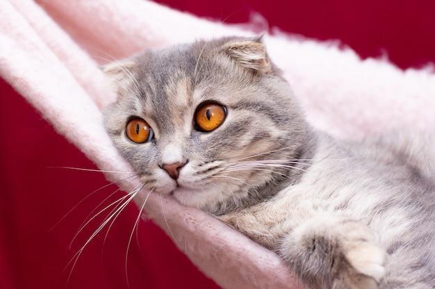 Portret szary kot szkocki zwisłouchy. kotek pręgowany krótkowłosy. duże żółte oczy. piękne tło dla tapety, okładki, pocztówki. na białym tle, z bliska. koncepcja koty.