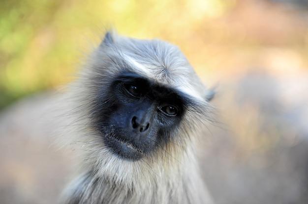 Portret szary langur, zamyka up. langur indian hanuman gatunek monkey.