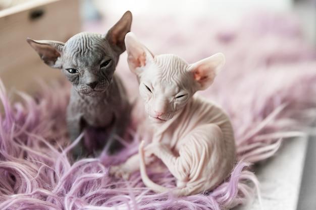 Portret szarych i białych jednomiesięcznych kotów don sphynx na liliowym futrze