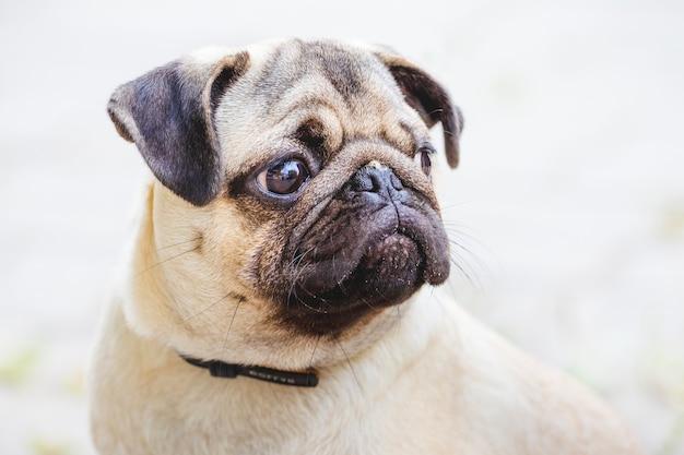 Portret szczeniaka bulldog z poważnym wyrazem twarzy.