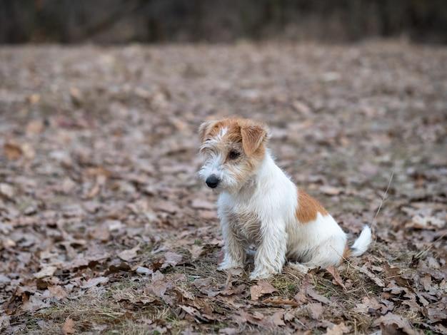 Portret szczeniaka jack russell terrier w lesie wiosną