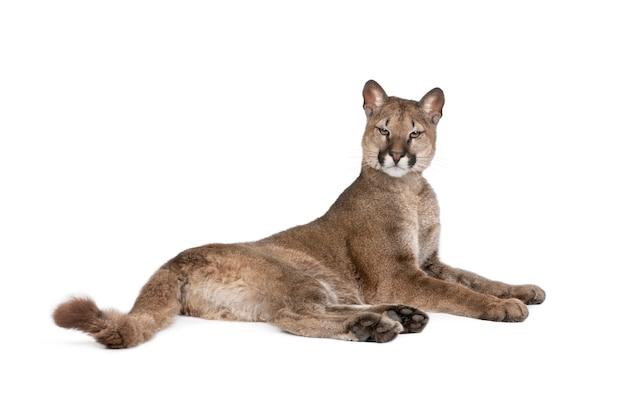 Portret szczeniaka puma, puma concolor, stojący