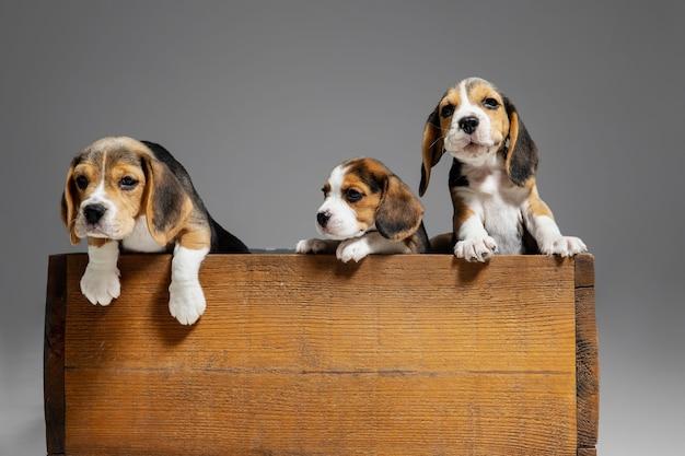 Portret szczeniąt rasy beagle na szarym