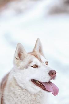 Portret szczęśliwego husky syberyjskiego na zewnątrz w zimowy dzień