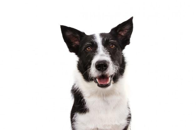Portret szczęśliwy czarny border collie.
