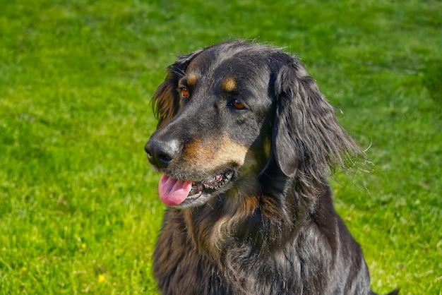 Portret szczęśliwy czarny i pomarańczowy pies hovawart. hovawart żeński zbliżenie
