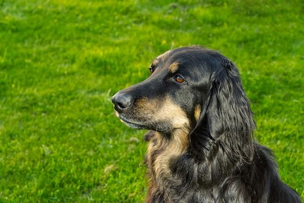 Portret szczęśliwy czarny i pomarańczowy pies hovawart.
