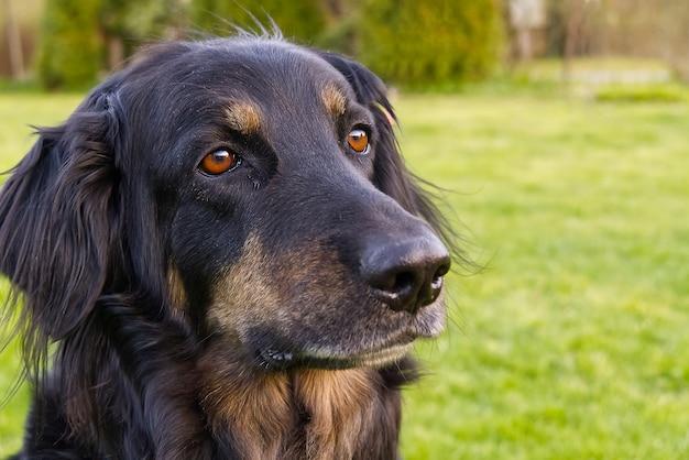 Portret szczęśliwy czarny i pomarańczowy pies hovawart