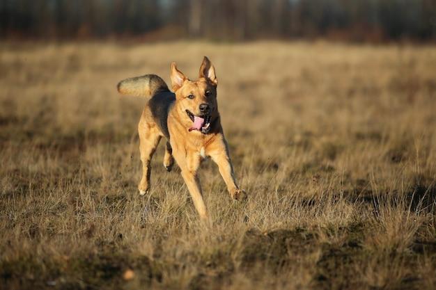 Portret szczęśliwy pies kundel biega naprzód na jesiennym żółtym polu