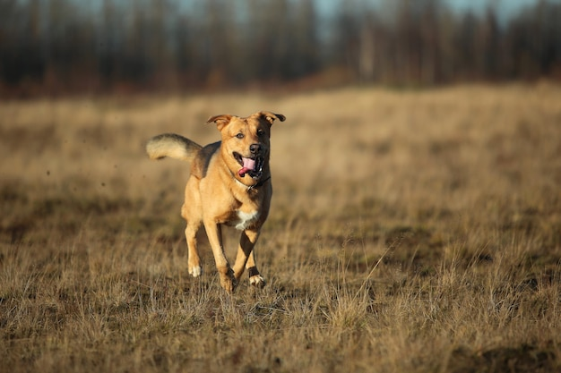 Portret szczęśliwy pies kundel biegnący naprzód na jesiennym żółtym polu