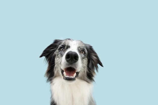 Portret szczęśliwy pies rasy border collie patrząc na kamery. na białym tle na niebieskiej powierzchni pastelowych.