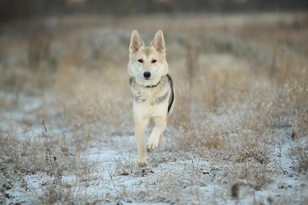 Portret szczęśliwy rudowłosy pies kundel chodzenie na słonecznym zimowym polu