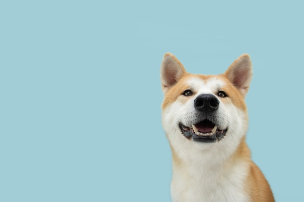 Portret szczęśliwy uśmiechnięty akita