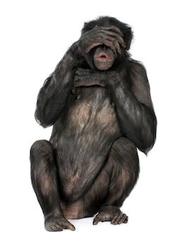 Portret szympans na bielu odizolowywającym. (mieszaniec między szympansem a bonobo)