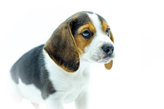 Portret tricolor beagle szczeniak na białym tle, szczeniak stojący patrząc w prawo.