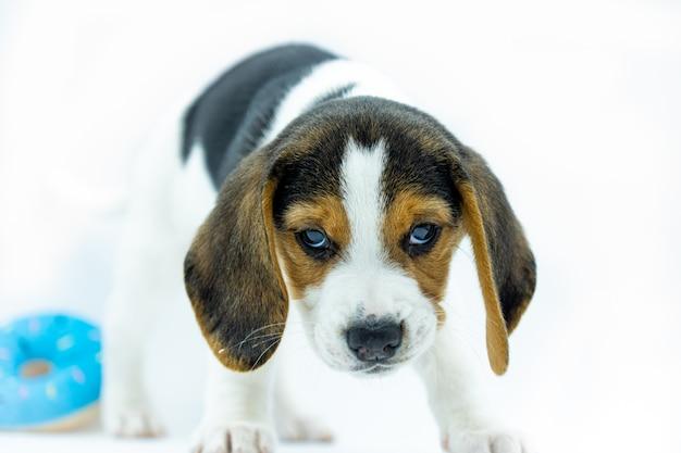 Portret tricolor beagle szczeniak na białym tle, szczeniak stojący patrząc wyzywająco przed siebie i zabawka na jego łapy