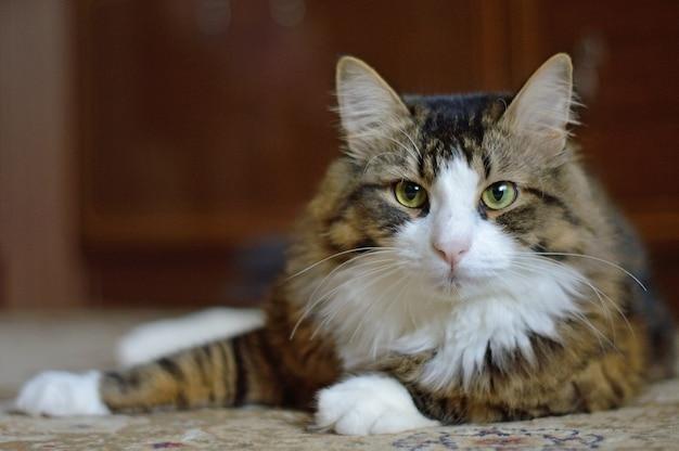 Portret trójkolorowego kota domowego