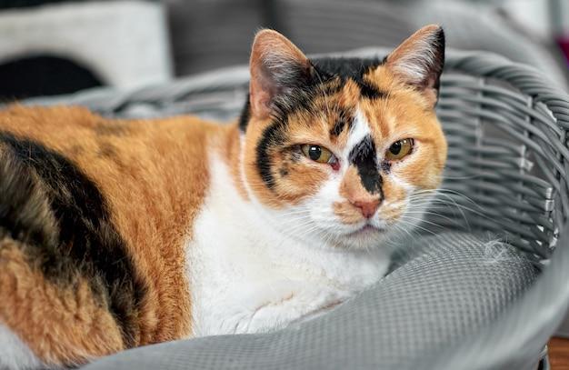 Portret trójkolorowego kota o przebiegłym spojrzeniu spoczywającym na legowisku