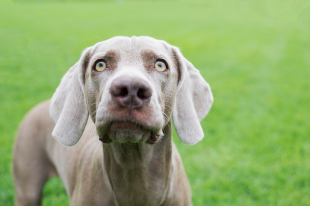 Portret twarzy psa rasy wyżeł weimarski, spoglądający w górę swoimi pięknymi i dużymi oczami.