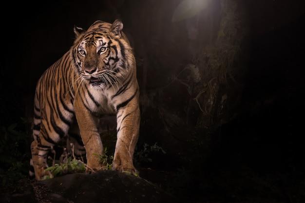 Portret tygrys bengalski w ciemnym lesie
