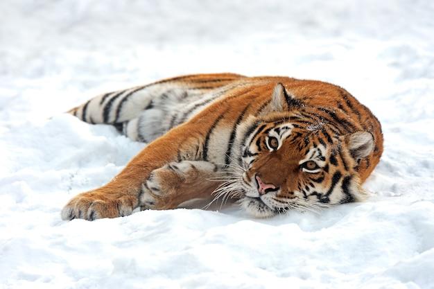 Portret tygrysa amurskiego zimą
