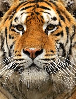 Portret tygrysa amurskiego