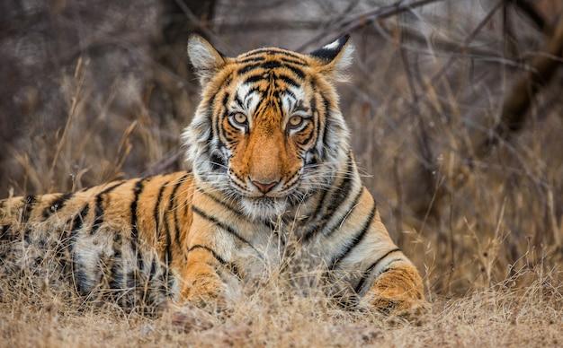 Portret tygrysa bengalskiego. park narodowy ranthambore. indie.