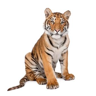 Portret tygrysa bengalskiego, siedzący, panthera tigris tigris