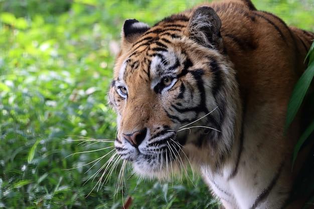 Portret tygrysa bengalskiego zbliżenie głowy tygrys bengalski samiec tygrysa bengalskiego zbliżenie