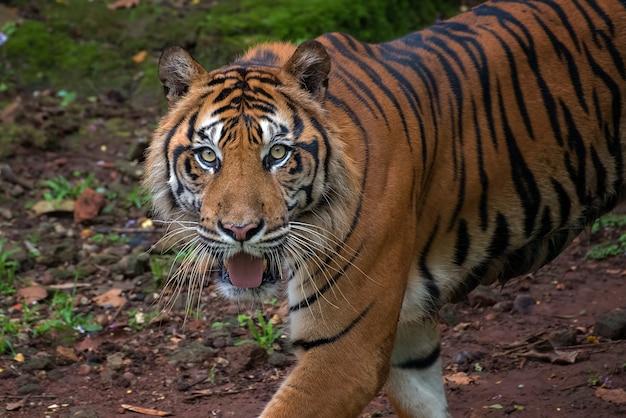 Portret tygrysa sumatrzańskiego