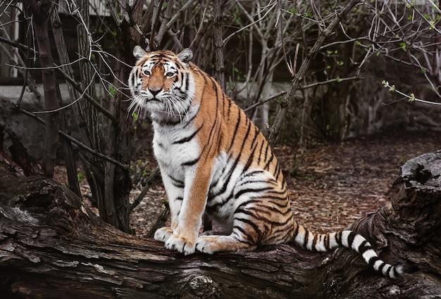 Portret tygrysa. tygrys odpoczywa w zoo. tygrys wyszedł na spacer i jest zrelaksowany.
