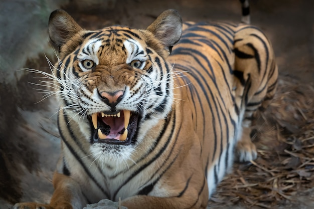 Portret tygrysa.