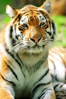 Portret tygrysów amurskich w letni dzień