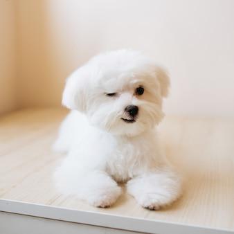 Portret uroczego, białego długowłosego maltańczyka na zdjęciu szczeniak ma 4 miesiące