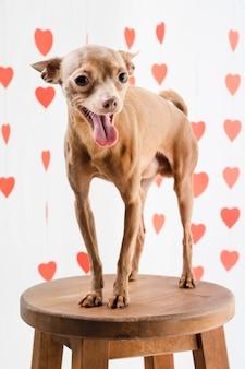 Portret uroczego chihuahua psi ono uśmiecha się