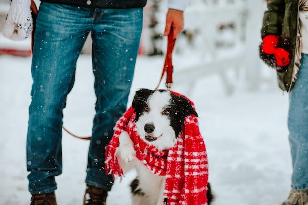 Portret uroczego czarno-białego psa w czerwonym zimowym szaliku