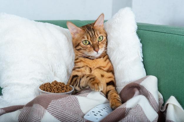 Portret uroczego kota bengalskiego leżącego na kanapie z pilotem do telewizora, przykrytego ciepłym kocem