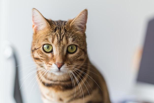 Portret uroczego kota bengalskiego w domu pod światłami z rozmytym tłem