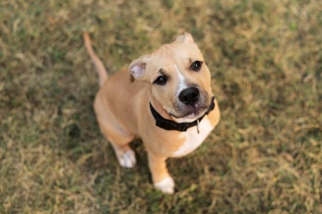 Portret uroczego psa pitbull
