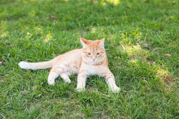 Portret uroczego rudego kota leżącego na słonecznej zielonej łące w ciepły letni wieczór.