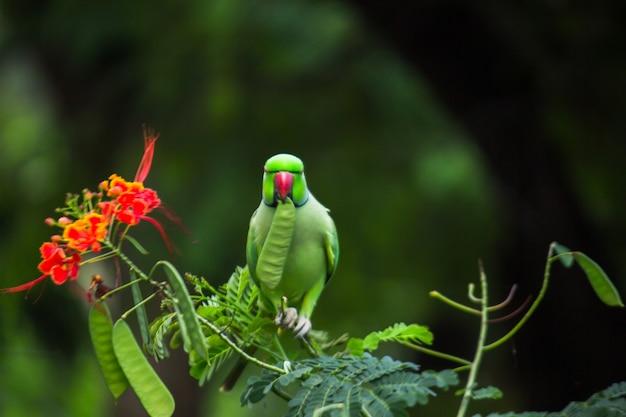 Portret uroczej aleksandretty obrożnej lub znanej również jako zielona papuga siedząca na czubku drzewa