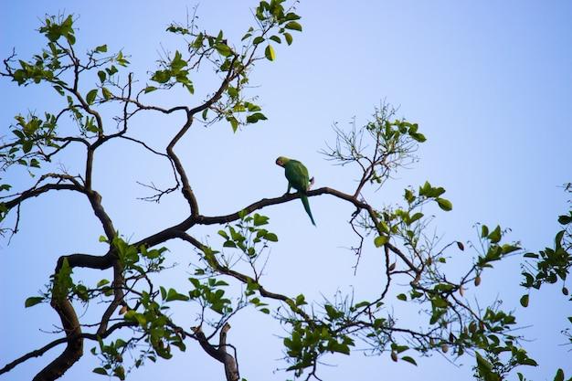 Portret uroczej aleksandretty obrożnej lub znanej również jako zielona papuga siedząca na drzewie