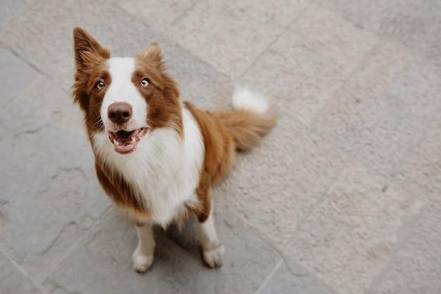 Portret uważny i słuchający psa rasy border collie patrząc na ulicy miasta. koncepcja posłuszeństwa