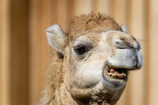 Portret wielbłąda dromader lub somalijski lub arabski