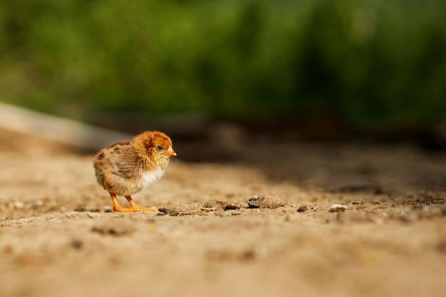 Portret wielkanocny mały puszysty żółty kurczaka odprowadzenie w jardzie wioska w pogodnym wiosna dniu